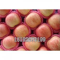 今 日 山东优质红富士苹果通货哪里好