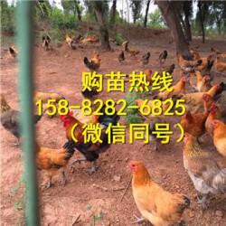 四川达州五黑鸡苗销售代理