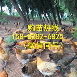 四川资阳黑瑶鸡苗销售
