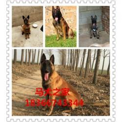 衢州熊版阿拉斯加价格大型猎犬杜高犬