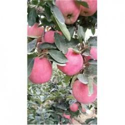 今 日 蒙阴现在红富士苹果通货专卖店在哪