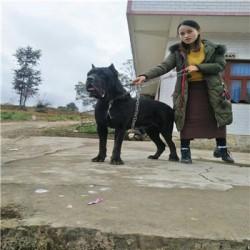 黄石杜高猎犬出售大型猎犬杜高犬