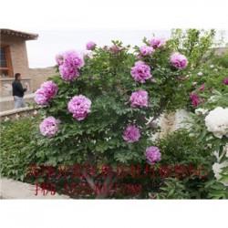牡丹花苗销售商湖南百年牡丹树价格.四季牡