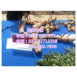 新35供应、汉川藕御莲藕种植场、新35