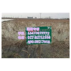 鄂莲6号、汉川藕御莲藕种植场、鄂莲6号采购