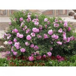 观赏牡丹基地河南盆栽牡丹价格.紫斑牡丹价