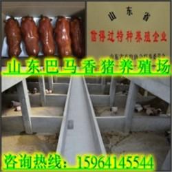 齐齐哈尔巴马香猪养殖场酒泉香猪养殖厂小猪