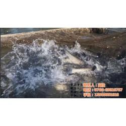 上海鲩鱼_干锅鲩鱼_渔夫水产贸易有限公司(