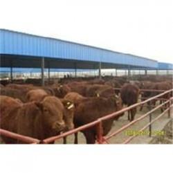 开封市鲁西黄牛养殖价格