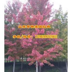 5公分美国红枫价格,美国红枫,通园银杏园林