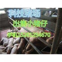 贵州黑母猪出售