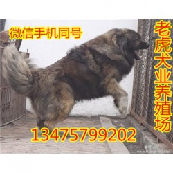 安徽淮南哪里有卖猎兔犬纯种格力犬全活长期