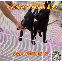云南宣威有黑狼犬出售吗