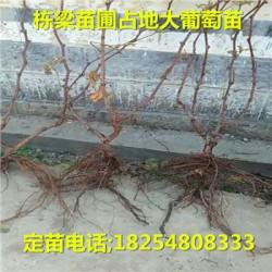 易县基地冬雪王桃苗图片