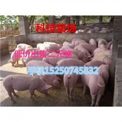 安徽原种母猪出售