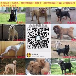 江苏丹阳有黑狼犬出售吗