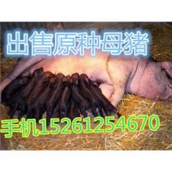 云南苏太母猪价格