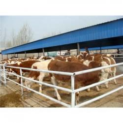巴中市鲁西黄牛养殖技术