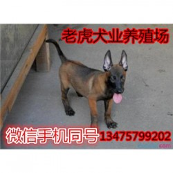 辽宁鞍山哪里有卖猛犬纯种杜宾犬价格长期招