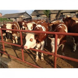 北京300斤小牛价格