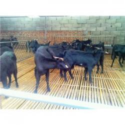 宁夏中卫肉羊品种