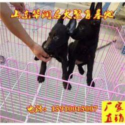 四川江油黑狼犬一般多少钱
