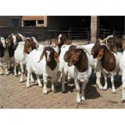 云南昆明黑山羊市场价格