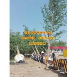 28公分实生银杏树|实生银杏树|浩威银杏