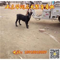 上海松江黑狼犬一般多少钱