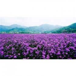 台 湾 省桑树种子多少钱一斤