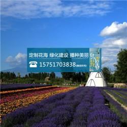 中杆青花瓷向日葵种子丨江苏春百宝种业