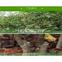 晚秋黄梨树成品苗多少钱一棵梨树一亩地能产